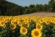 Sonnenblumenfeld im Mühlviertel