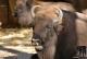 Wisent Bison